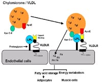 NGFN-Science: Potential polymorphisms of the VLDL receptor
